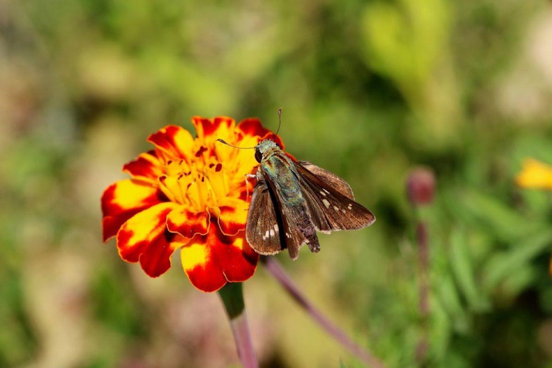 Miglio delle Farfalle